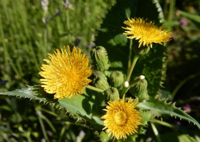Medicinal Herbs: The Sow Thistle